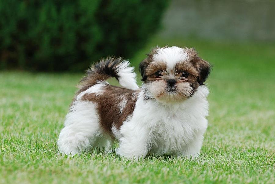 A shih Tzu dog looking the camera!